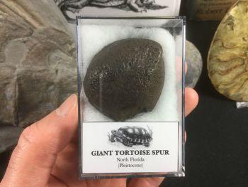 Giant Tortoise Spur #01