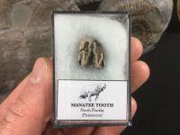 Manatee Tooth, Florida #05