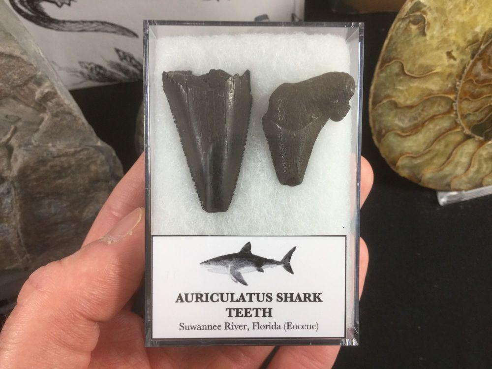 Carcharocles Auriculatus Shark Teeth #01