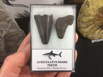 Carcharocles Auriculatus Shark Teeth #01