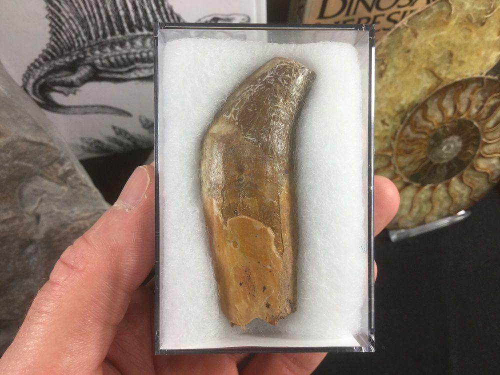 Dorudon atrox, Basilosaurid Whale Tooth #01