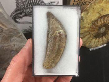 Dorudon atrox, Basilosaurid Whale Tooth #02