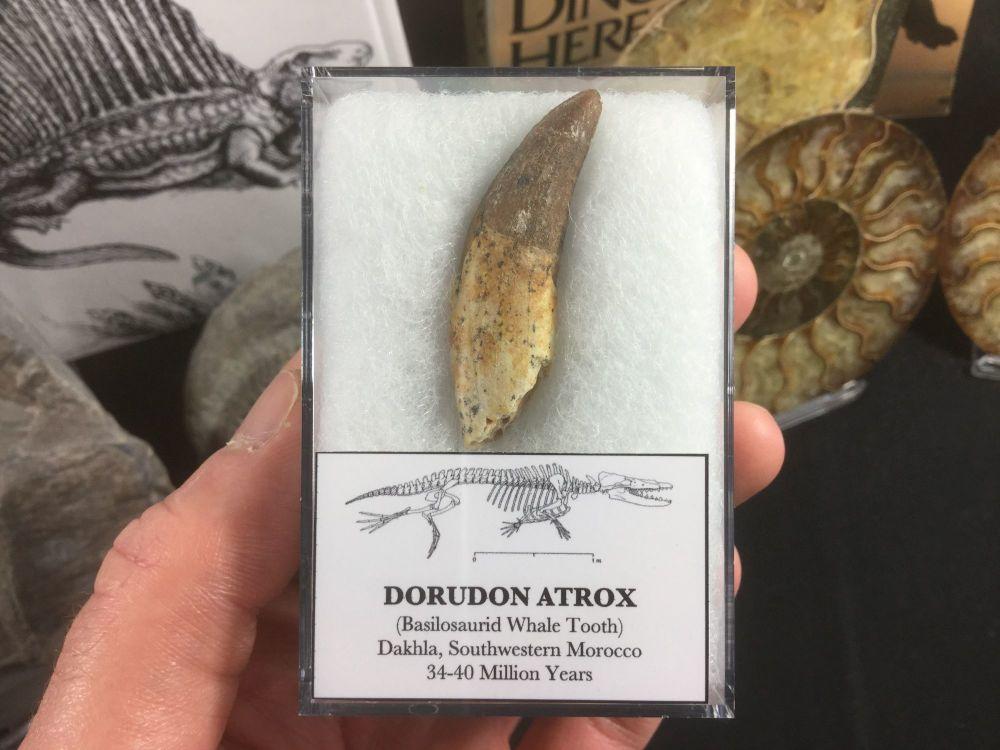 Dorudon atrox, Basilosaurid Whale Tooth #04