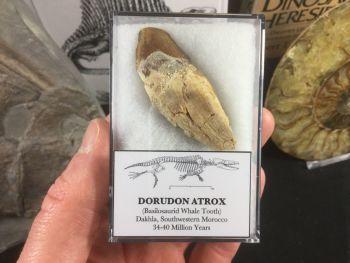 Dorudon atrox, Basilosaurid Whale Tooth #05