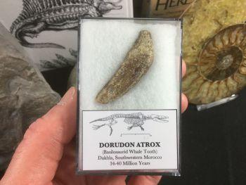 Dorudon atrox, Basilosaurid Whale Tooth #06