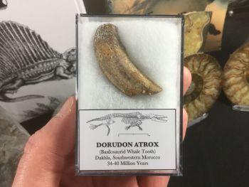 Dorudon atrox, Basilosaurid Whale Tooth #07