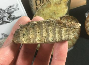 Edmontosaurus Jaw Section #01