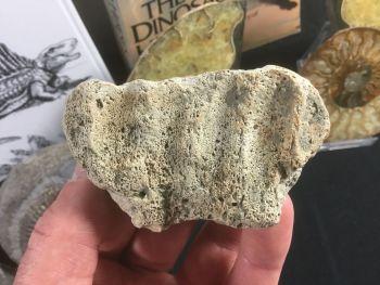 Edmontosaurus Jaw Section #02