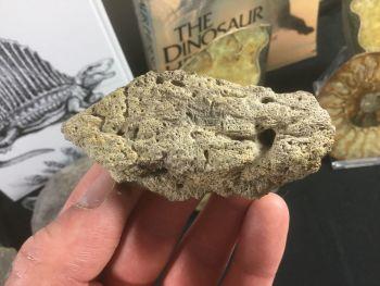 Triceratops Epoccipital #01