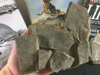 5x Ogyginus Trilobites, Study Set #02