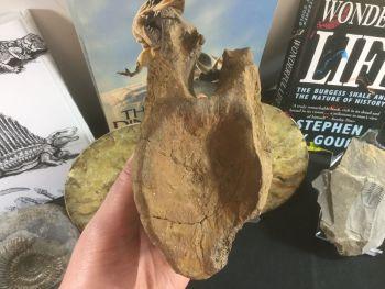 Tyrannosaur Vertebra