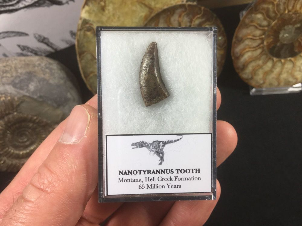 Nanotyrannus Tooth #04