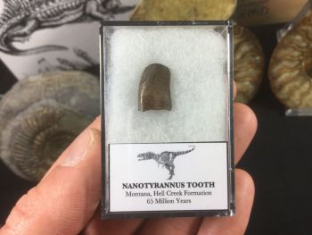 Nanotyrannus Tooth #05