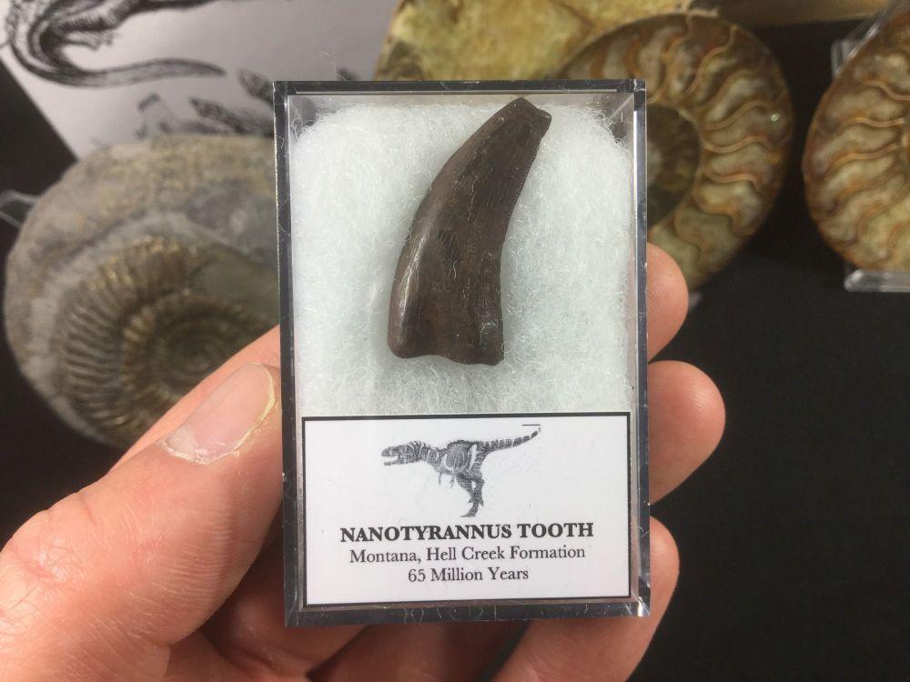 Nanotyrannus Tooth #06