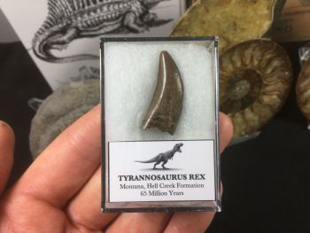 Tyrannosaurus Rex Tooth #02