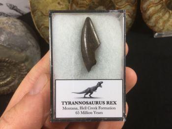 Tyrannosaurus Rex Tooth #03
