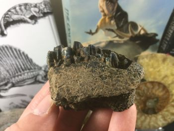 Edmontosaurus Jaw with Teeth #03