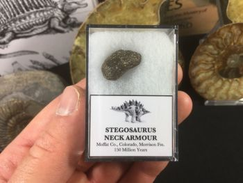 Stegosaurus Neck Armour Plate #08