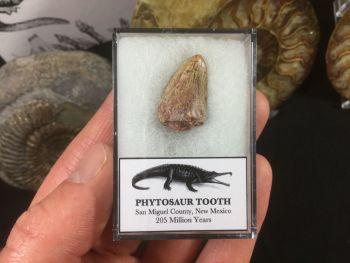 Phytosaur Tooth #16