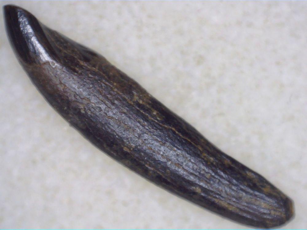 Meniscoessus Multituberculate Mammal Tooth, Hell Creek #03