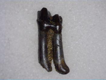 Didelphodon Mammal Tooth, Hell Creek #01