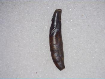Didelphodon Mammal Tooth, Hell Creek #02