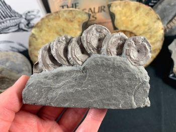 Ichthyosaur Vertebrae, Germany