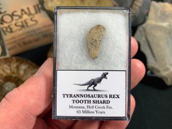 Tyrannosaurus Rex Tooth Shard #02