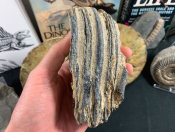 Southern Mammoth Tooth, Hungary #01