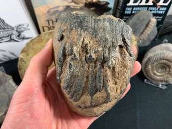 Southern Mammoth Tooth, Hungary #02