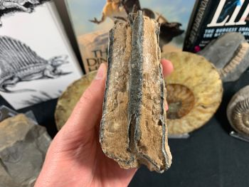 Southern Mammoth Tooth, Hungary #03