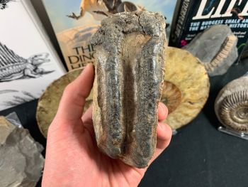 Southern Mammoth Tooth, Hungary #04