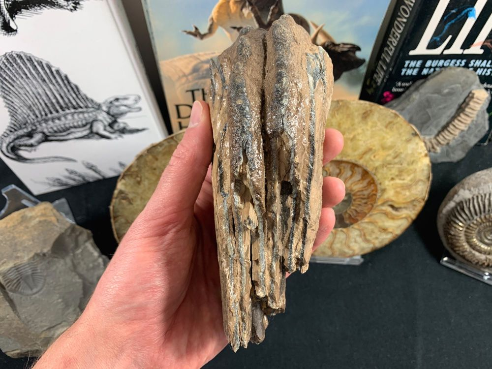 Southern Mammoth Tooth, Hungary #05