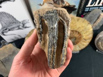 Southern Mammoth Tooth, Hungary #06