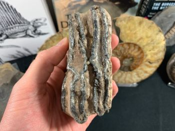 Southern Mammoth Tooth, Hungary #07