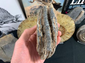 Southern Mammoth Tooth, Hungary #09