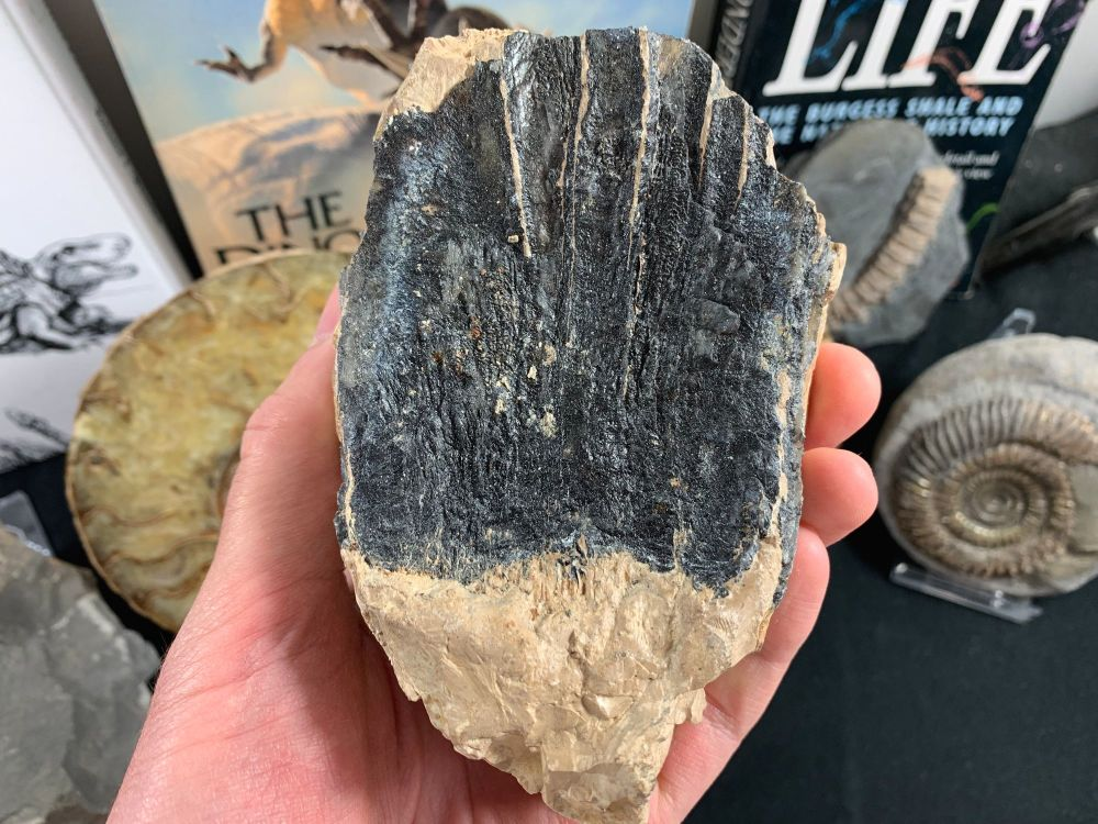 Southern Mammoth Tooth, Hungary #10