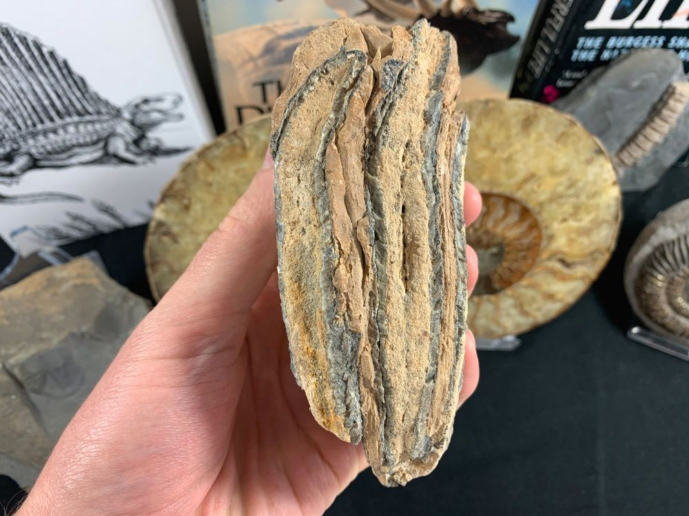 Southern Mammoth Tooth, Hungary #11