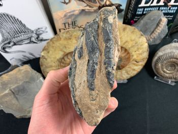Southern Mammoth Tooth, Hungary #12