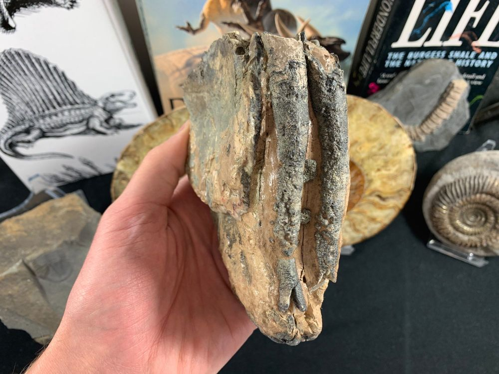 Southern Mammoth Tooth, Hungary #13