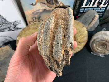 Southern Mammoth Tooth, Hungary #14