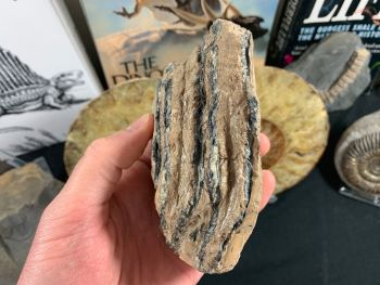 Southern Mammoth Tooth, Hungary #15