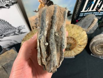 Southern Mammoth Tooth, Hungary #16