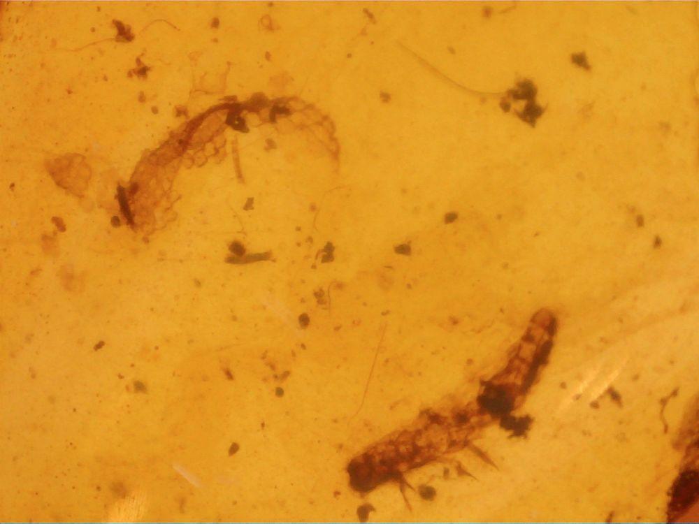 RARE Burmite Amber with Reptile Skin & Beetle Larva