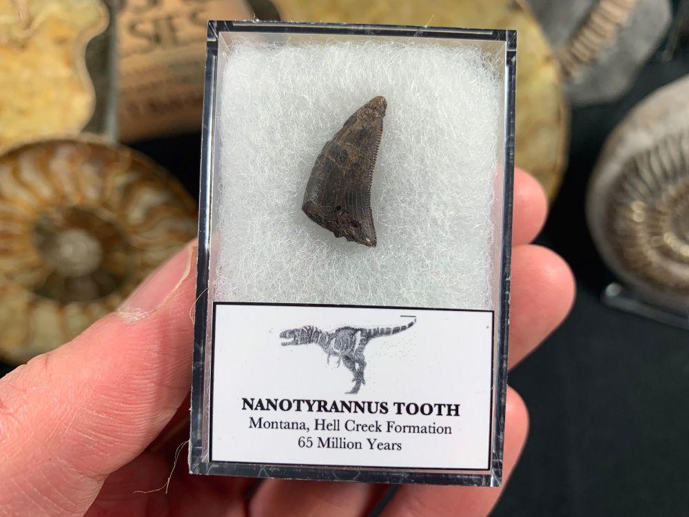 Nanotyrannus Tooth #13
