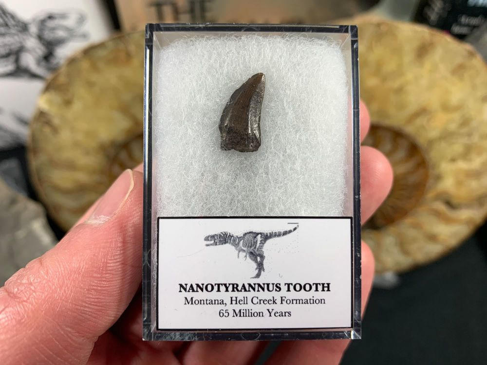 Nanotyrannus Tooth #15