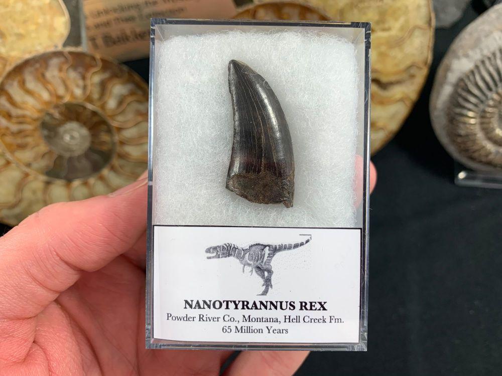 Nanotyrannus Tooth #16