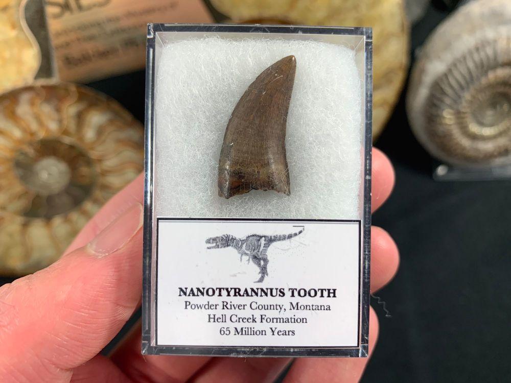Nanotyrannus Tooth #17