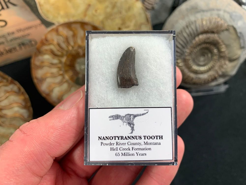 Nanotyrannus Tooth #28