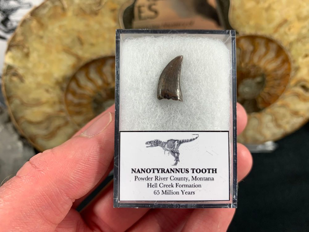 Nanotyrannus Tooth #29